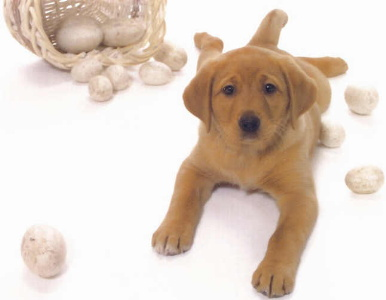 guide to buying a labrador